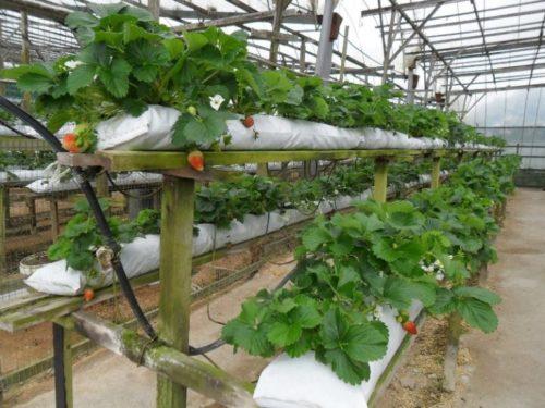 Кусты клубники в полиэтиленовых мешках с капельным поливом, выращивание в условиях закрытого грунта