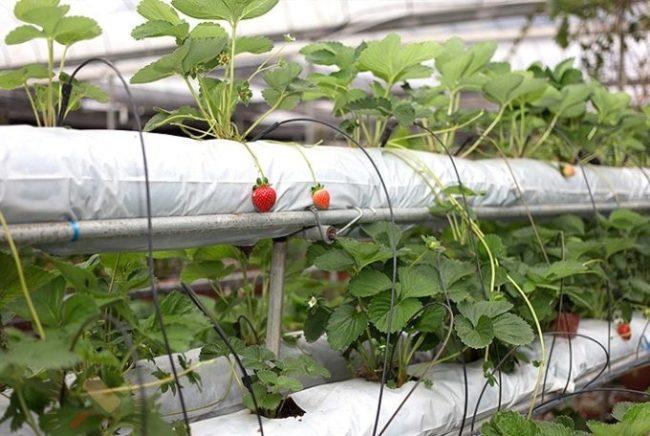 Выращивание клубники на гидропонике по голландской технологии в мешках