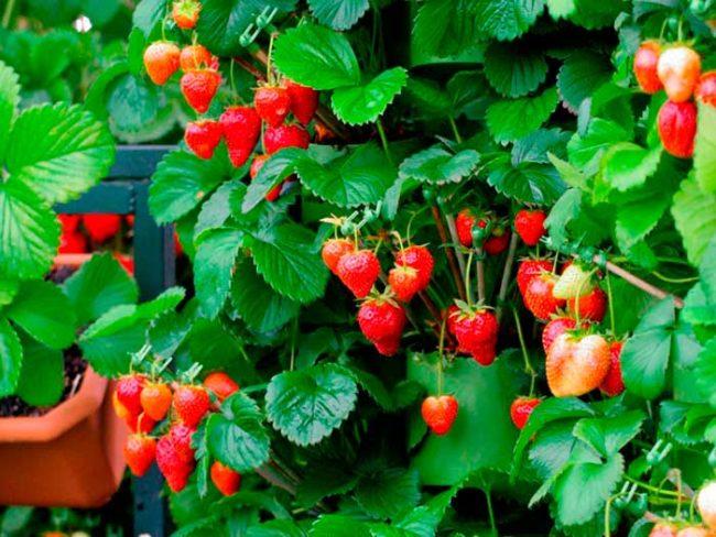 Спелые ягоды клубники, выращиваемой в контейнерах по голландской технологии