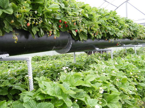 Выращивание клубники по голландской технологии в горизонтальных трубах
