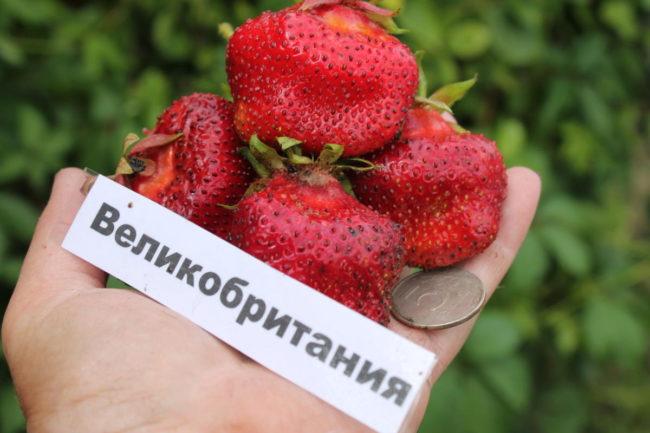 Четыре крупные ягоды клубники сорта Великобритания и монетка в руке садовода