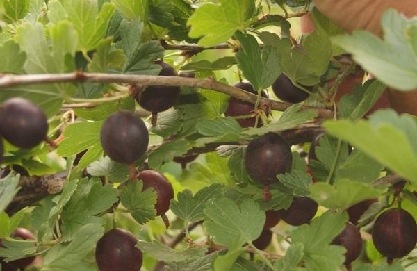 Ветки крыжовника Командор и созревающие ягоды темно-коричневого оттенка