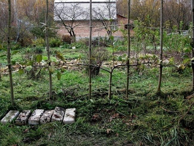 Фото виноградной лозы в форме двухстороннего кордона на шпалере