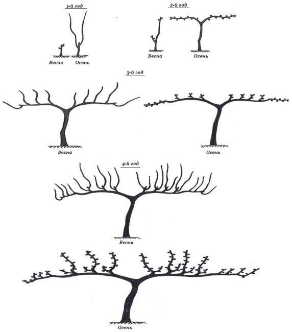 Схема формировочной обрезки винограда по методу длинного рукава
