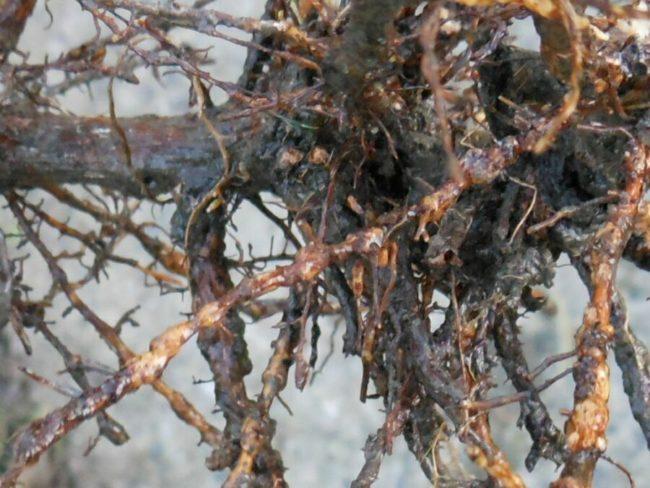 Корни винограда с типичными для филлоксеры вздутиями или корневая тля