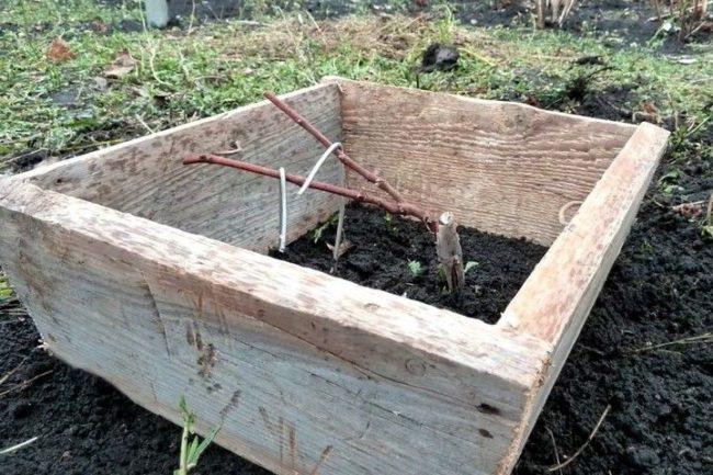Саженец винограда в деревянном коробе, подготовка к зимнему укрытию