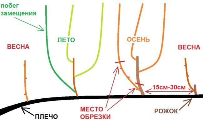 Схема короткой обрезки винограда в течении четырех сезонов