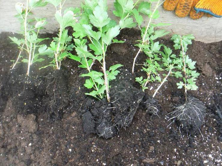 Однолетние саженцы крыжовника с комом земли, одеревеневшими стеблями и зелеными листьями