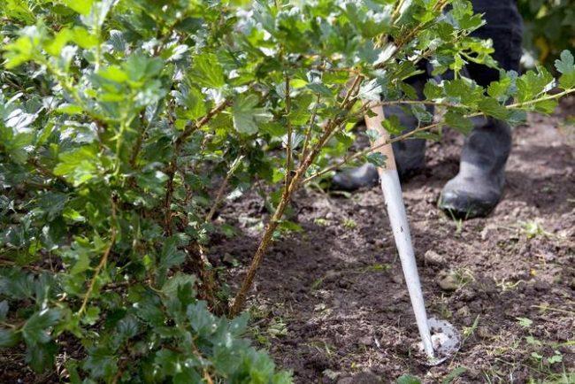Взрослый куст крыжовника, рыхление приствольного круга и удаление сорной растительности