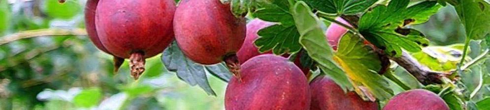 Ветка крыжовника без шипов с плодами вблизи