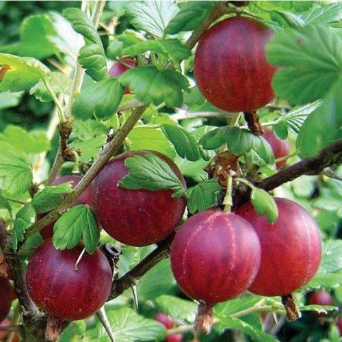 Ветка крыжовника сорта Колобок и созревшие плоды с умеренно сладким вкусом