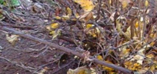 Крыжовник куст перед зимовкой убран