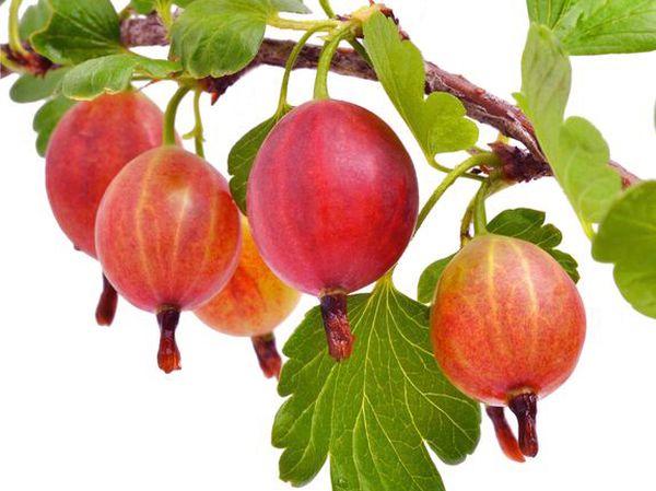 Плоды бесшипного крыжовника сорта Консул в начале периода созревания