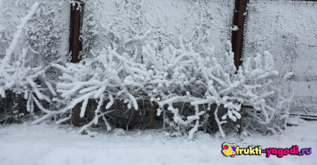 Крыжовник зимует под слоем льда и снега