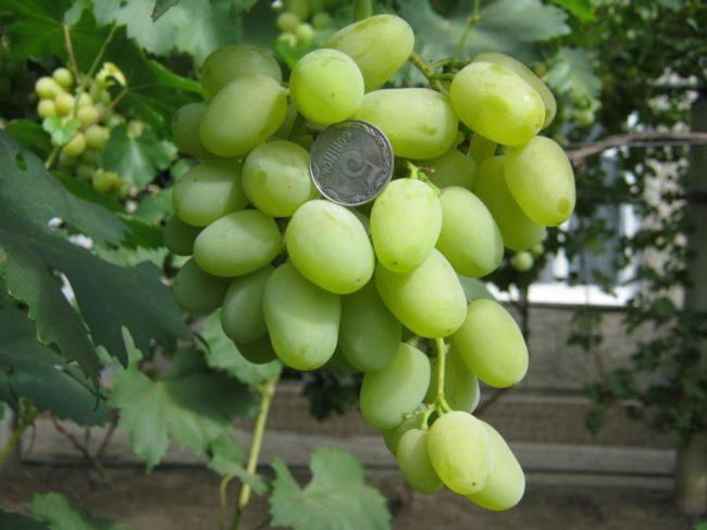 Копейка на грозди винограда с зелёными ягодами
