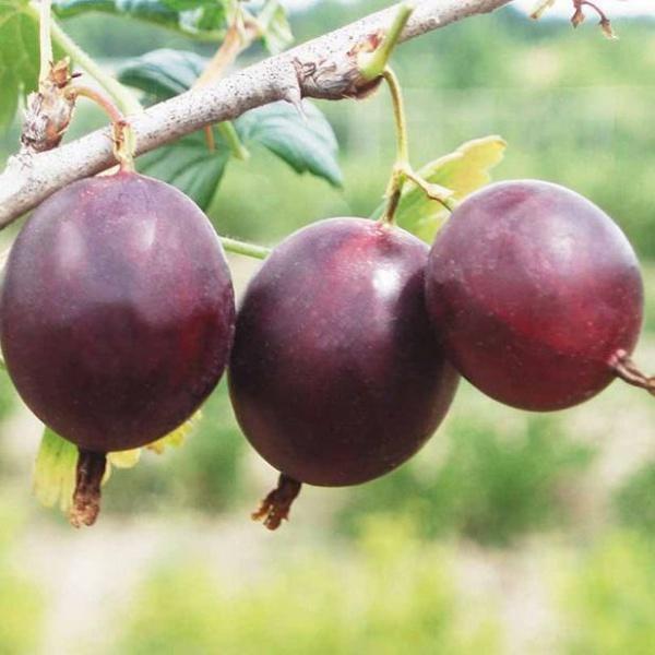 Три крупные ягоды вишневого цвета с тонкой кожицей крыжовника сорта Арлекин