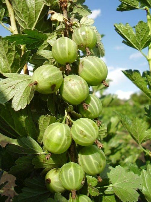 Спелые ягоды садового крыжовника сорта Берилл среднего срока созревания
