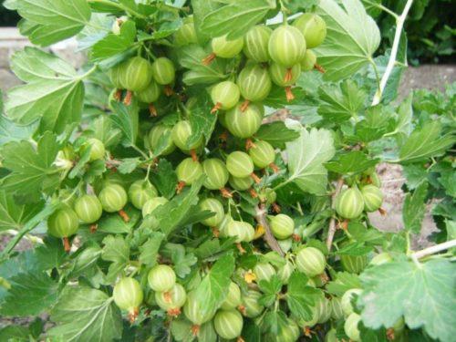 Крупные одномерные ягоды на ветке крыжовника Берилл