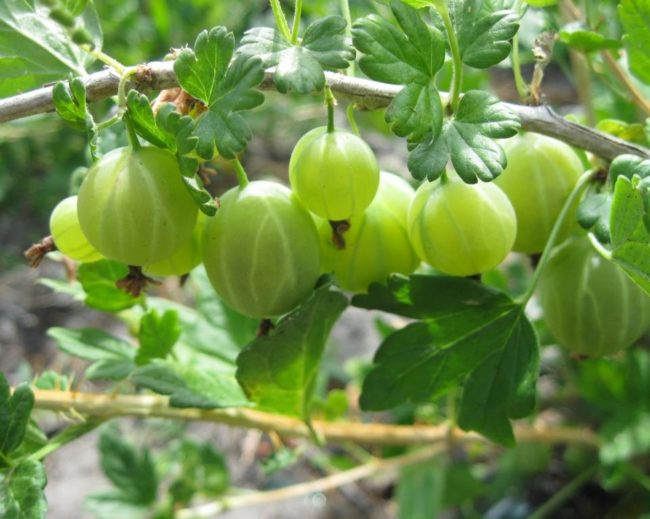 Стебель крыжовника сорта Берилл с крепко висящими плодами светло-зеленого цвета
