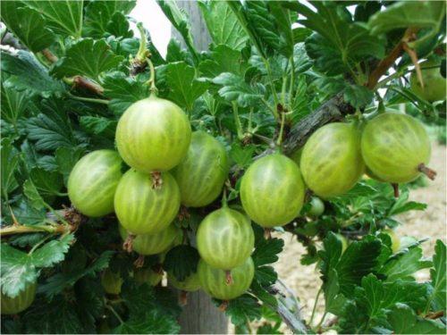 Ветка крыжовника сорта Берилл с небольшими шипами и ягоды светло-зеленого цвета