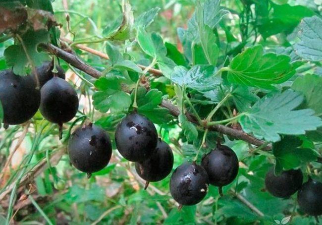 Стебель крыжовника Чёрный Негус с глянцевыми плодами иссиня-черного цвета