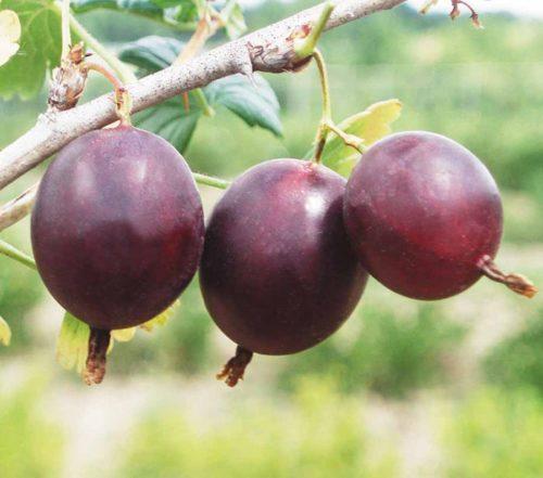 Три спелые коричнево-бардовые ягоды на ветке крыжовника Финик