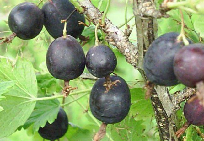 Переспелые ягоды темно-фиолетового цвета крыжовника сорта Финик