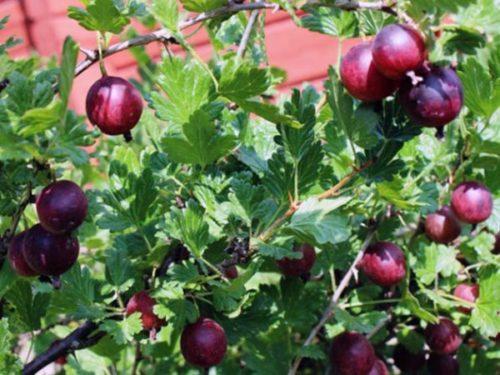 Ветки крыжовника Финик с ягодами и глянцевыми листьями ярко-зеленого окраса