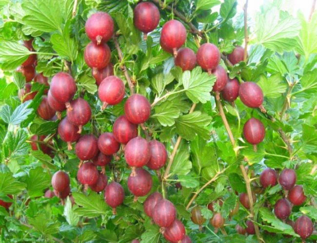 Ветки с ягодами крыжовника сорта Грушенька, компактный куст с быстро растущими ветками