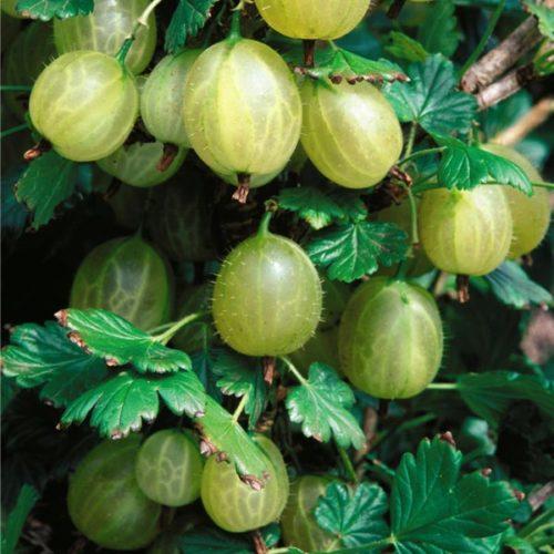 Крупные ягоды овальной формы крыжовника сорта Инвикта, выведенного английскими селекционерами