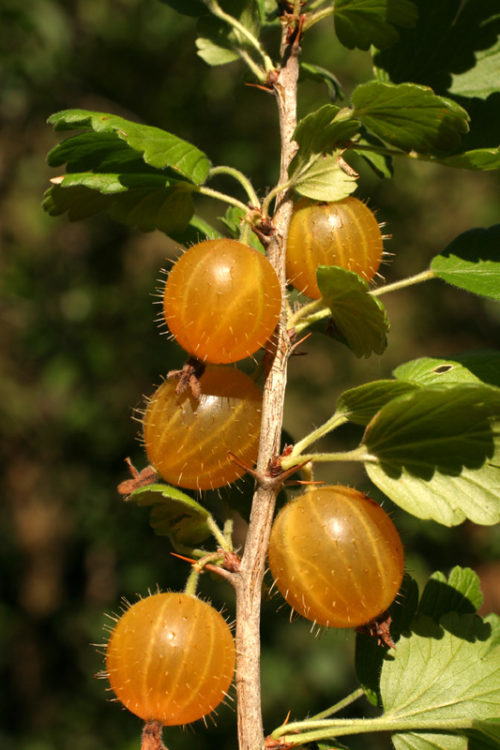 Ветка крыжовника десертного сорта Янтарный и сочные желто-янтарные плоды