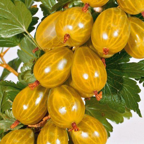Спелые плоды крыжовника сорта Янтарный ярко оранжевого цвета