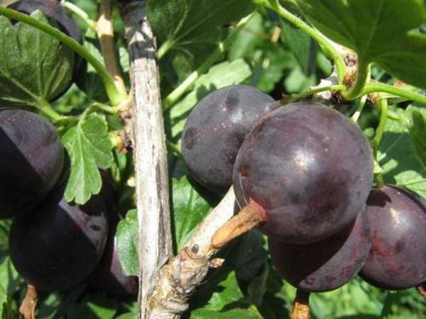 Спелые плоды крыжовника бесшипного сорта Командор на ветке в конце июля