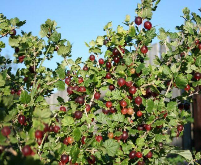 Куст среднеспелого крыжовника сорта Командор, рослые ветки и созревающие ягоды красного цвета