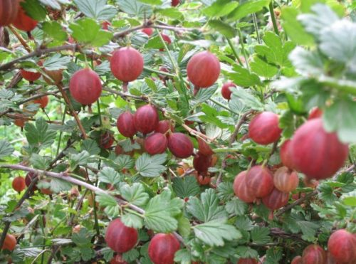 Ветки крыжовника Консул с небольшим количеством шипов и созревающие ягоды бардового цвета