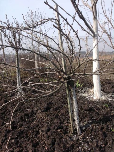 Штамбовый крыжовник на йоште, начало сокодвижения ранней весной