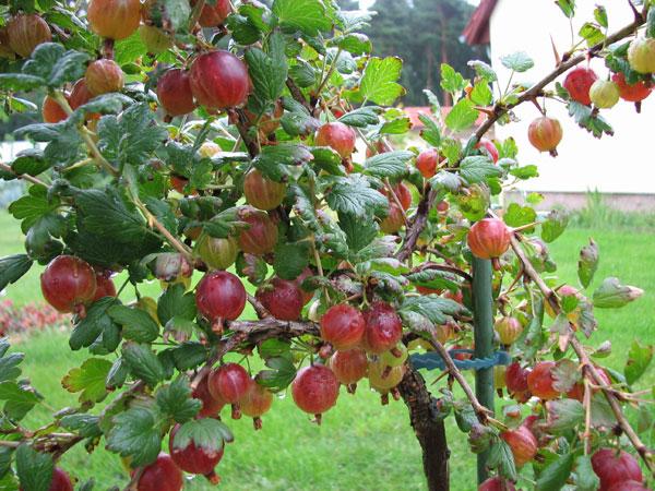 Штамбовый крыжовник с ягодами красного и зеленого цветов и опора из трубы