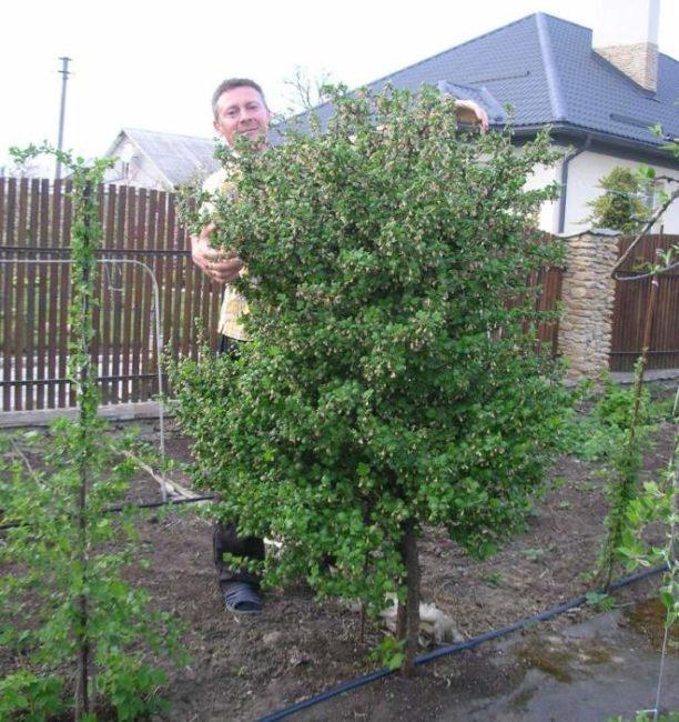 Крыжовник, выращенный на штамбе Черномор садоводом из Краснодарского края