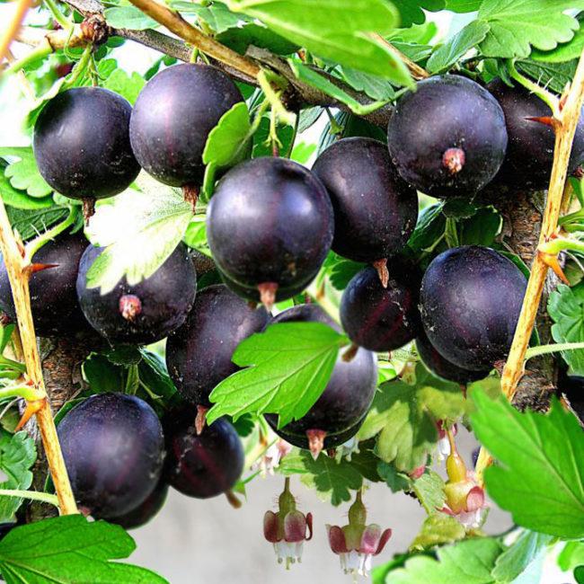 Темно-вишневые плоды крыжовника зимостойкого сорта Орленок для выращивания за Уралом