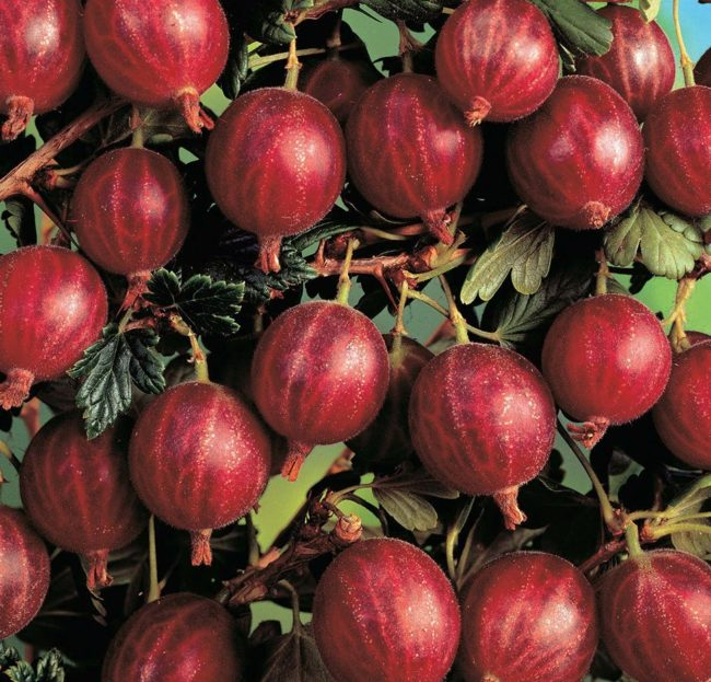 Спелые ягоды красного крыжовника бесшипного сорта Редбол новейшей селекции