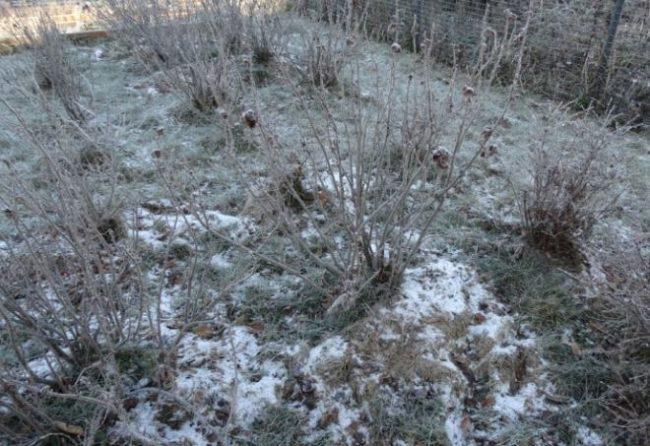 Кусты крыжовника ранней весной на личном приусадебном участке