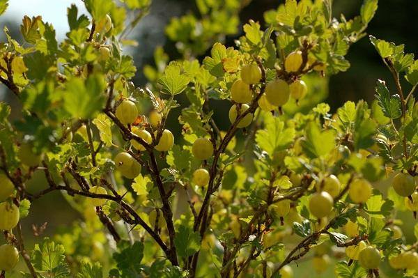 Рослый куст крыжовника сорта Янтарный в период зрелости плодов, длинные раскидистые ветки с ягодами овальной формы