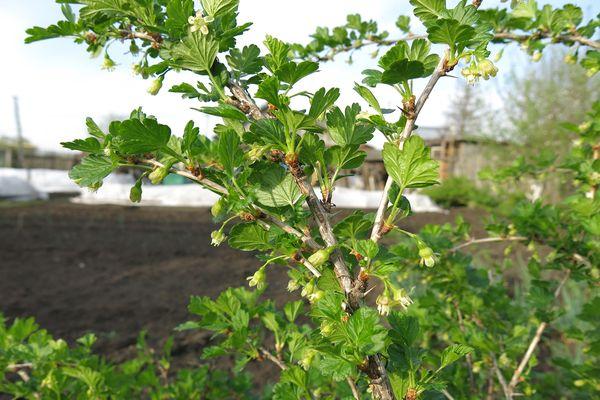 Ветки крыжовника сорта Финик весной в период назревания цветоносов