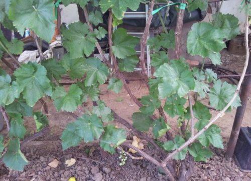 Крепкий куст винограда сорта Кеша 2 и большие темно-зеленые листья