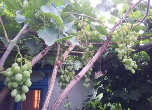 Толстые ветки винограда сорта Тамерлан на металлической перголе