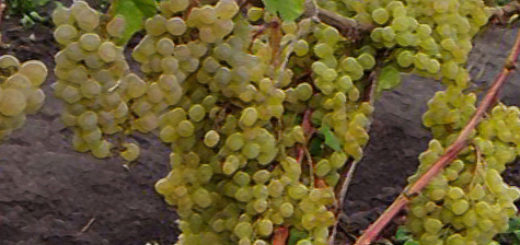 Куст винограда Кишмиш 342 с несколькими гроздями