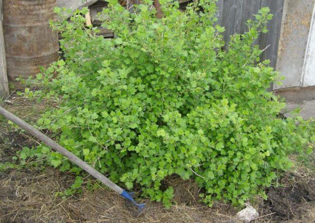 Высокий куст крыжовника, растущего с южной стороны сарая на рыхлой и плодородной почве