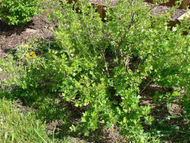 Высокий куст взрослого крыжовника на садовом участке, замульчированный соломой и сеном