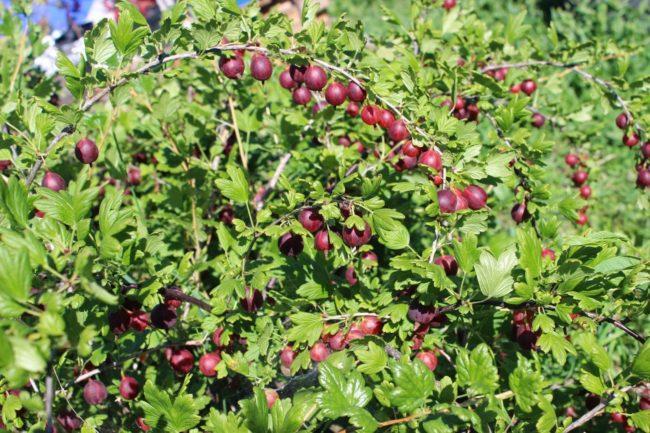 Дугообразные стебли крыжовника сорта Командор и созревающие ягоды