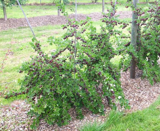 Куст крыжовника сорта Финик с созревающими ягодами и мульчирование приствольного круга древесной щепой